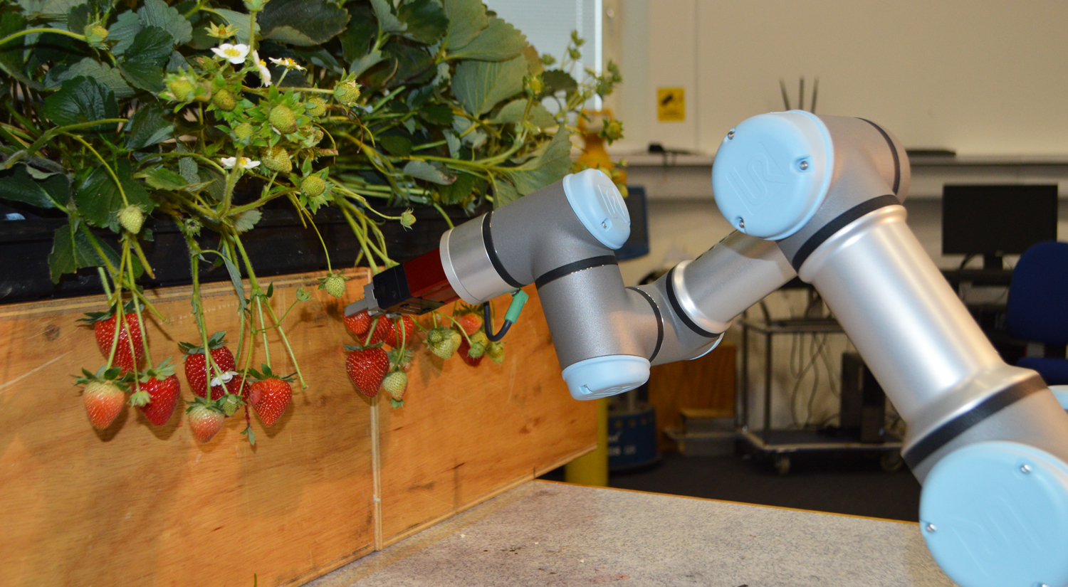 A photo of a state-of-the-art robot arm in silver and pale blue, reaching towards some strawberries on stems hanging over the edge of a wooden plant box.