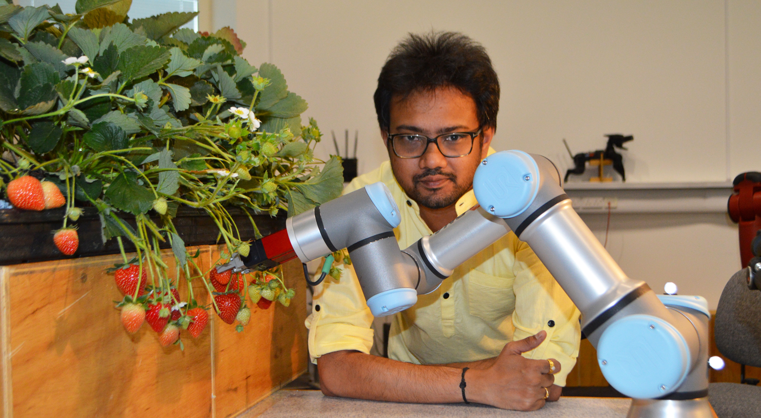 A robot arm in silver and pale blue is reaching towards some strawberries on stems hanging over the edge of a wooden plant box. Dr Vishu Mohan, from the School of Computer Science and Electronic Engineering, is sitting behind the robotic arm, leaning forward with his arms resting on the table.