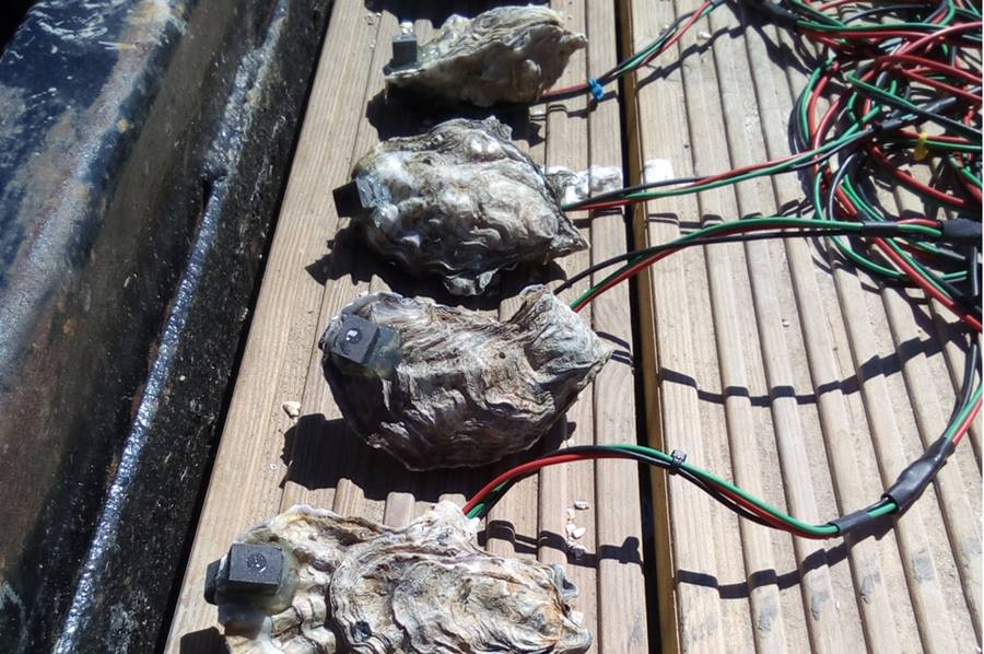 Sensors being used on oysters